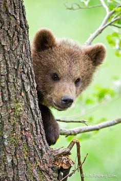Bear cub peeking out from behind a tree