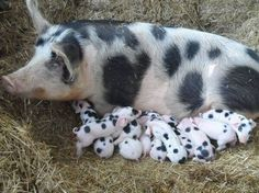 Pig and piglets or Dalmatian puppies? Pet Pigs, Baby Pigs, Baby Goats, Farm Animals, Animals And Pets, Cute Animals, Beautiful Creatures, Animals Beautiful, Cute Piggies
