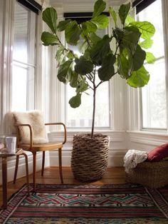 indoor fig tree!!! // area rug, fig tree, potted fig tree, lamb throw, bay window
