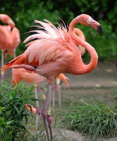 Wallpaper rosa flamingo 56 ideas for 2019 Flamingo Photo, Flamingo Art, Pink Flamingos, Tropical Birds, Exotic Birds, Colorful Birds, Beautiful Birds, Animals Beautiful, Flamingo Pictures