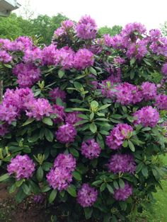 Purple Rhododendron ~ Beautiful
