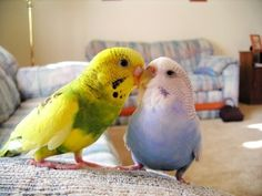 Parrots are the birds usually loved by all and specially the talking parrot. Here are colorful parrots photos with so many varieties just check this. Budgie Parakeet, Budgies, Colorful Parrots, Colorful Birds, Baby Animals, Cute Animals, Cute Birds, Pretty Birds, Little Birds