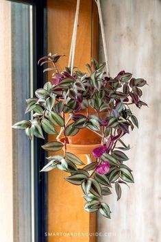 Jew plant care (tradescantia zebrina) Read how to grow and care for Tr., Wandering Jew plant care (tradescantia zebrina) Read how to grow and care for Tr., Wandering Jew plant care (tradescantia zebrina) Read how to grow and care for Tr. House Plants Decor, Plant Decor, Garden Plants, Easy House Plants, Backyard Plants, Hanging Plants, Indoor Plants, Types Of Houseplants, Hoya Plants