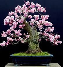 Risultati immagini per magnolia bonsai