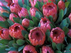Protea, flower, leaves x 1200 px] - Nature/Plants - Pictures and wallpapers Beautiful Flowers Photos, Rare Flowers, Flower Photos, Amazing Flowers, Protea Art, Protea Flower, Plant Pictures, Pictures To Paint, Nature Plants