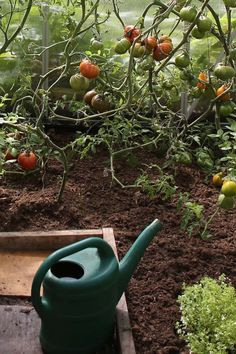 Tomaten aussäen - so gelingt die Anzucht Watering Can, Canning, Joy, Gardening, Rhubarb Plants, Greenhouse Plants, Glee, Lawn And Garden, Being Happy