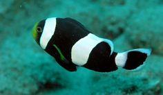 El pez payaso convive con las anémonas - http://www.depeces.com/el-pez-payaso-convive-con-las-anemonas.html