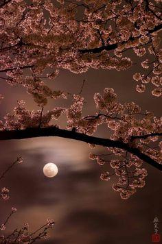 Cherry blossom moon. Beautiful