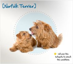 Did you know the Norfolk Terrier was bred as a barn dog and excelled at keeping their owners' properties free of rats and other vermin? Read more about this breed by visiting Petplan pet insurance's Condition Checker! Norfolk Terrier, Beautiful Dog Breeds, Beautiful Dogs, Pets 3, Dog Insurance, Different Dogs, Havanese, Love Pet, Pet Health