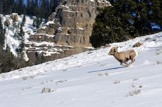 A bighorn sheep in Lamar Valley, Yellowstone National Park. Photograph by Andy Coleman