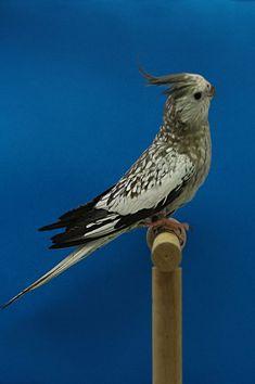 Cockatiel, Budgies, Caique Parrot, Strange Animals, Birds, Pets, Crazy Animals, Welcome, Parakeets