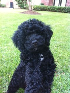 I also want this Cockapoo
