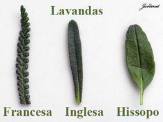 Comparação entre algumas espécies de lavandas! - Jardinet