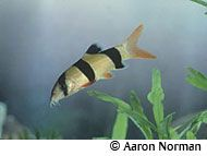 Clown Loach  Care Level : Medium, very prone to ich infestation and is not recommended for the freshwater aquarium fish beginner.  Size : 12 inches  pH : 6 - 7.5  Temperature : 75°F - 85°F  Water Hardness : 5° to 15° dH  Lifespan : 10 years and longer  Tank Size : 75 gallon or larger.  Tank Region : Mostly the bottom