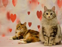 Rafaella & Micah: sisters Bobtail Cat, Cattery, Sisters, Cats, Animals, Gatos, Animales, Animaux, Animal
