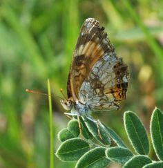 Chlosyne nycteis (Nymphalidae) 07/13, Pierce Co.