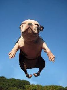 Cool picture of a flying bulldog. These dogs can't get very far off the ground so the photographer must have been laying down. Animals And Pets, Baby Animals, Funny Animals, Cute Animals, Unusual Animals, Love My Dog, Baby Dogs, Dogs And Puppies, Doggies