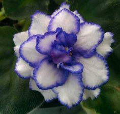 Pat Tracy - one of my new African violets