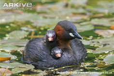 Little Grebe and ducklings
