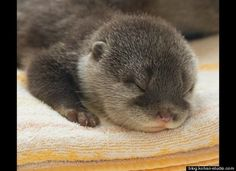 Baby Otter.. Adorable!