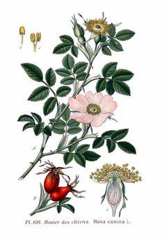 Hagebutten die vitaminhaltigen Früchte der Hunds-Rose