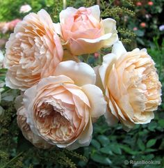 Charles de Nervaux -- @Kristen Classi  a pretty alternative to peonies in case they are not in season... also garden roses are beautiful too.