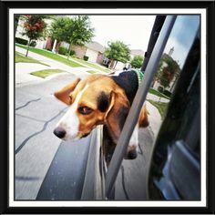 Jeepin' beagle