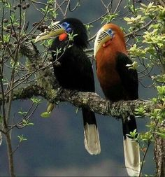 Rufus necked hornbills