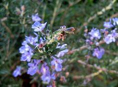 Cómo sembrar semillas de romero... ¿Te gustan las aromáticas?