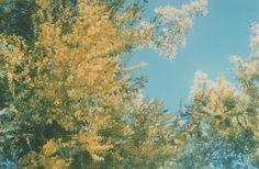 Aromo florecido / Aromo tree blossomed | Flickr - Anastasia Estramil