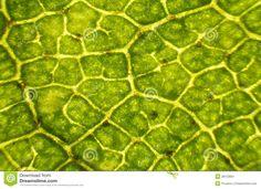 birch-leaf-under-microscope-28153851.jpg (1300×942)