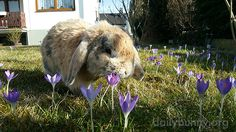 Bunny takes a moment to check out the crocuses - March 13, 2017