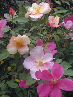 Diversify your rose garden with these Knock Out rose substitutes --> http://blog.hgtvgardens.com/grow-guide-knockout-rose-substitutes-and-bird-seed-plant-damage/?soc=pinterest