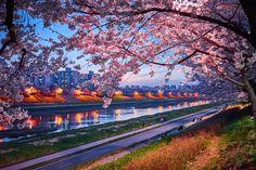 South Korea    안양천 벚꽃 야경 및 저녁노을과 함께 보고왔어요~!! 안녕하세요 잇님들~ 새벽에 배고픔을 참고 글을 쓰고 ...