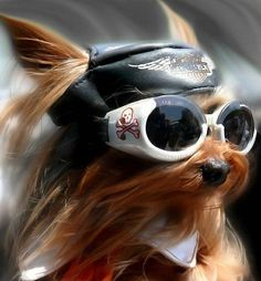 """A daily dose of cuteness to brighten up your afternoon. See an adorable Yorkshire Terrier who is truly """"bad to the bone"""" in today's Afternoon """"Aww. Cute Puppies, Cute Dogs, Dogs And Puppies, Yorkshire Terriers, Animals And Pets, Funny Animals, Cute Animals, Yorkies, Yorkie Dogs"""