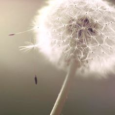 even weed seeds are beautiful, & still part of God's creation!...Dandelion Photography by Raceytay, $25.00