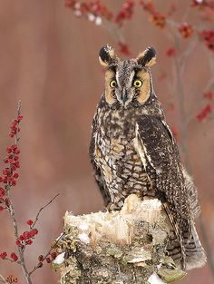 Long-eared Owl (Asio otus) by ER Post on Flickr