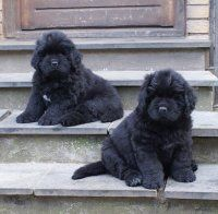 Newfie Puppies.. nothing fluffier :)