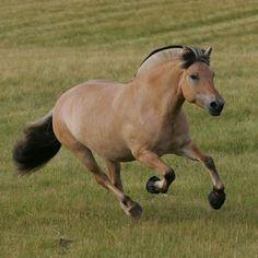 Always been fascinated with Norwegian Fjord horses