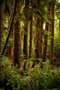 Mossy Trees - Olympic National Park, Washington