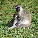 Artist: Engela Vermeulen   metal posters - Displate #Monkeys #Breastfeeding# Animals #BlueMonkey #MotherAndBaby #Mtunzini #SouthAfrica #Cute #Displate