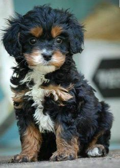 Cavapoo Pup (Cavalier King´s Charles Spaniel and French Poodle Mix). Black and Tan. the cutest! This would make a cute buddy for Emmett lol! Cavapoo Puppies, Spaniel Puppies, Cockapoo, Pomeranian Pups, Cavachon, Havanese Dogs, Cute Dogs And Puppies, I Love Dogs, Doggies