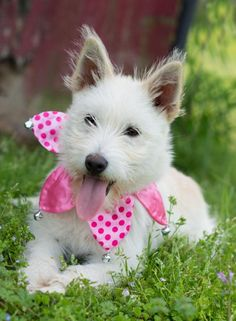 Patchouli is a 4 month old #Airedaleterrier mix #puppy. She's a happy and playful girl ready to find a family to grow up and old with! http://www.doggielife.com/A08FGG