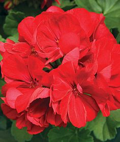 Geranium, Calliope Dark Red - Geraniums-cascading for window boxes