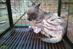 A four year old female #Hyena was rescued by the #WildlifeSOS Rapid Response Unit and the U.P. Forest Department, following a brutal attack by a mob of villagers in Agra. The hyena was in critical condition and is currently undergoing treatment. Know more in this report by The Times of India here: http://timesofindia.indiatimes.com/city/agra/Hyena-rescued-by-Wildlife-SOS-Rapid-Response-Unit/articleshow/52402219.cms?from=mdr