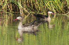 Brilliant summer birding - http://www.zambezitraveller.com/hwange/birding/brilliant-summer-birding - (Image credit - Red-billed teal -  © MIKE MYERS/WILDERNESS SAFARIS