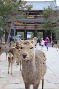 Hello, deer. (Nara, Japan.)