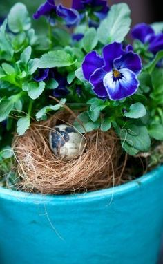 Pansies in a large aqua pot with a bird nest and egg