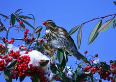 A redwing feasts on red berries. We love the contrast of an azure blue sky with the snowy branches. A great shot from P Rowe of St Leonards on Sea.