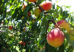 2) Pick freshly grown peaches at the Marburger Orchard in Fredericksburg, TX (14 Things to do in Texas)